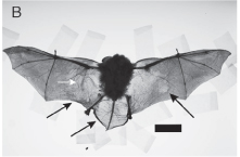 Bat from Meteyer publication